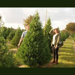 Find a Christmas Tree Farm